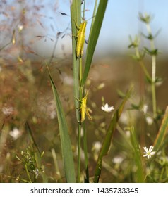 Green grasshopper on the grass, selective focus on the lower one