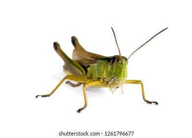 Green grasshopper on light background. Macro.