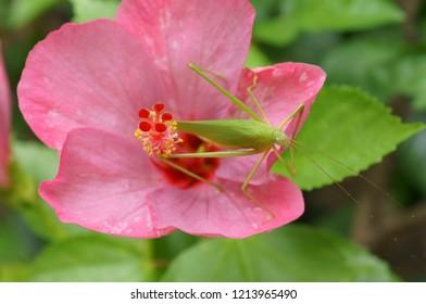 Green Grasshopper on Pink Hibiscus