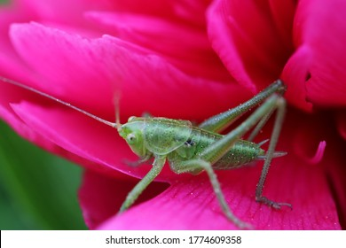Green grasshopper on the red peony petal in the garden,green grasshopper on red peony macro,wildlife insect on flower,spring nature in the garden,nature photo