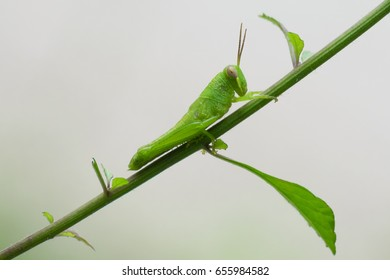 Green grasshopper on weed branch in the morning time garden blurry background, close up, macro