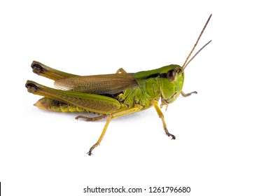 Green grasshopper on white background. Side view. Macro.