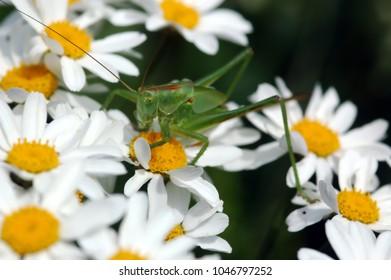 Green Grasshopper on white daisies, close-up