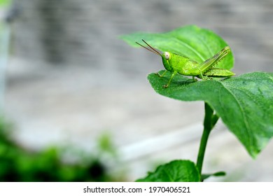 green grasshopper - oxya serville. Green grasshopper is one type of insect that is found in Indonesia