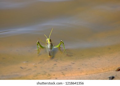 GREEN GRASSHOPPER PARTIALLY SUBMERGED IN THE WATER AT THE EDGE OF A WATER PA