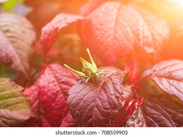 Green grasshopper sitting on a grape leaf on blurred background garden.