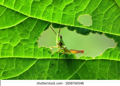 A green grasshopper is sitting on a green leaf. Grasshopper in nature.