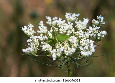 Green grasshopper sitting on white flowers of wild carrot