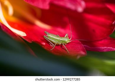 Green Grasshopper (Tettigonia viridissima)