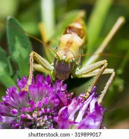Green grasshopper (Tettigonia viridissima) on a flower of red Clover