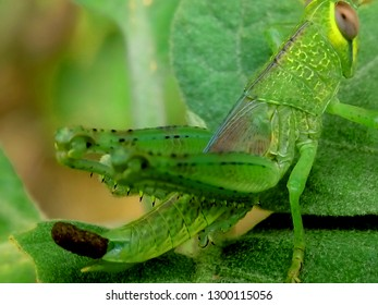 Green grasshoppers perch on the leaves