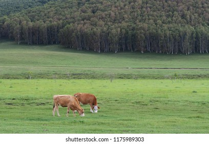 Green grassland with cows eating grass