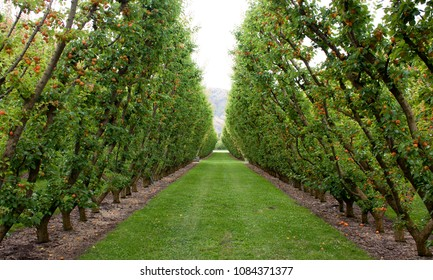 A green grassy path between apricot trees in an orchard in New Zealand