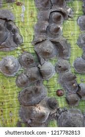 Green and grey kapok tree bark  close up