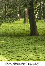 green ground in forest. green carpet of flowers in wood