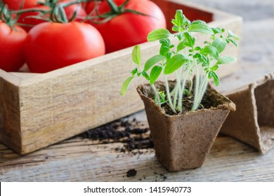 Green growing  seedlings of tomatoes and red ripe tomatoes in wooden crate on background.