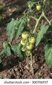 Green growing tomatoes in hobby greenhouse.