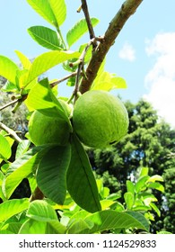 green guava fruit