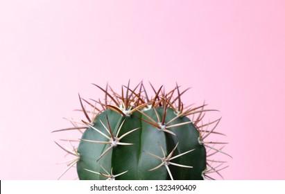 Green gymnocalycuim cactus on pastel pink background