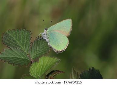 Green hairstreak - an iridescent butterfly