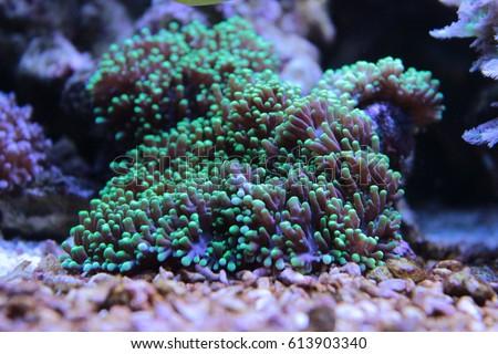 hairy mushroom Saltwater