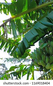 Green hand of bananas growing on a tree