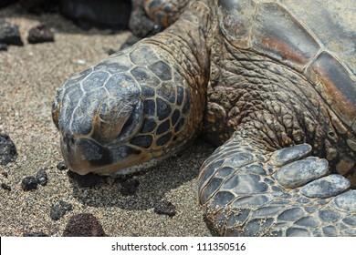 Green Hawaiian Sea Turtle on the beach