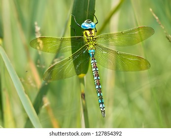 Green Hawker Dragonfly (Aeshna viridis) Warming its Wings in the Early Morning Sun