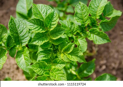green healthy leaves of young potato plant