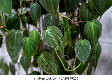 Green heart  leafs philodendron plant
