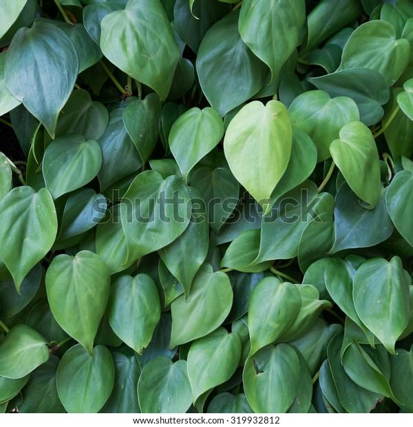 green heart shape leaf wall background
