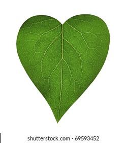 Green heart, transparent leaf of lilac