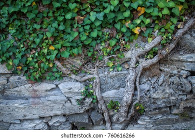 Green hedera on the old stone wall