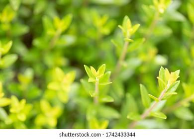 Green hedge background - Spring garden hedge