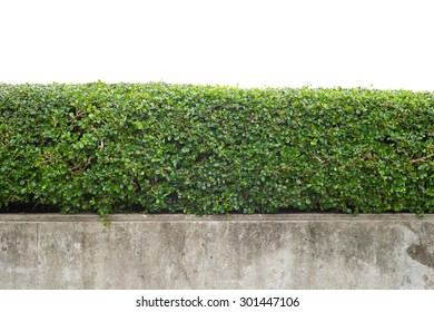 green hedge with concrete wall on white background