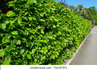 Green hedge with hornbeam plants in spring nearby a sidewalk
