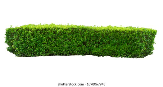green hedge ,green leaves isolated on white background.