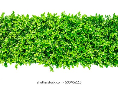 green hedge or Green Leaves Wall
