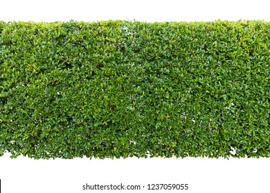 Green hedge or Green Leaves Wall isolated on white background,Objects with Clipping Paths