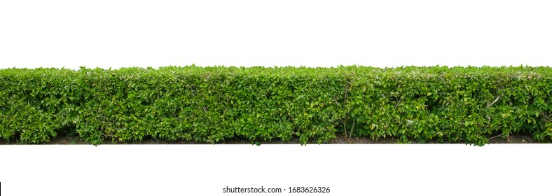 Green hedge or Green Leaves Wall  isolated on white background,with clipping path,Green bush ,The garden or the Park.