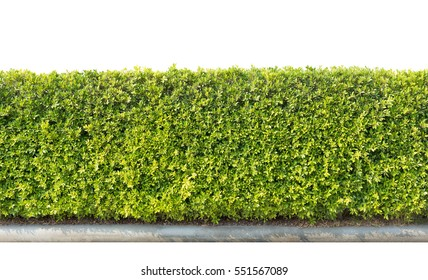 green hedge or Green Leaves Wall isolated