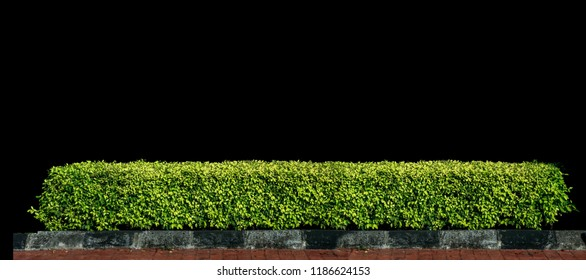 green hedge or Green Leaves Wall on isolated in black