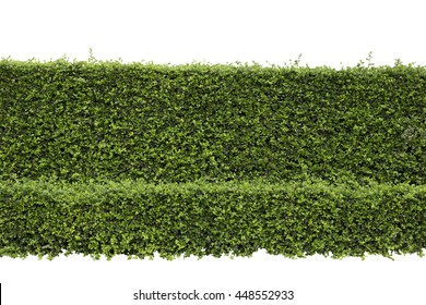 Green hedge or Green Leaves Wall on isolated, ,Objects with Clipping Paths