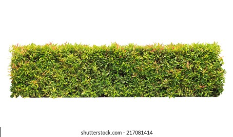 green hedge on isolated , add Clipping path