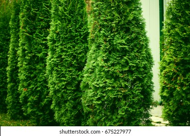 Green Hedge of Thuja Trees, Green hedge of the Tui tree, nature, background