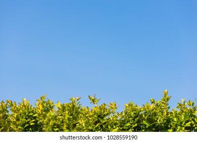 Green hedge under a blue summer sky