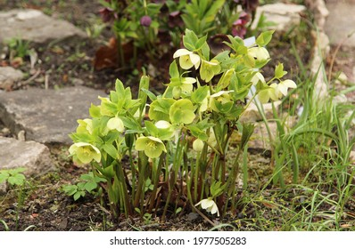 green hellebore flowers in early spring in the botanical garden