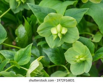 Green hellebore (Helleborus viridis), green flowers