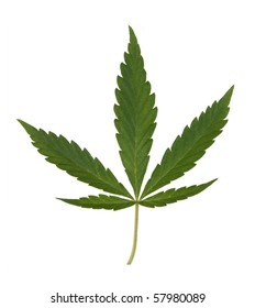 green hemp leaf isolated over white