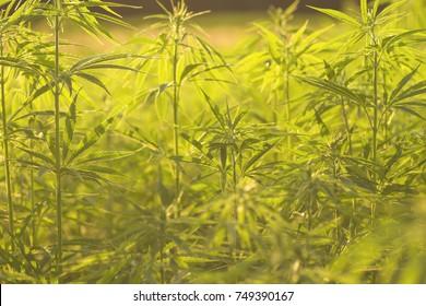 green hemp plantation detail